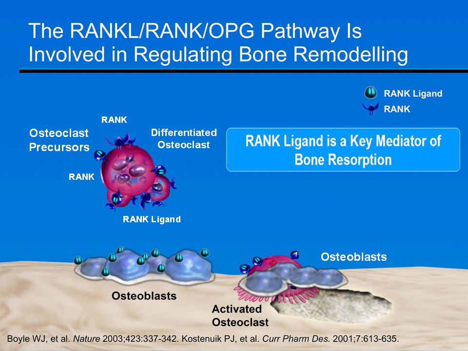 Bone resorption and formation are balanced in premenopausal women.