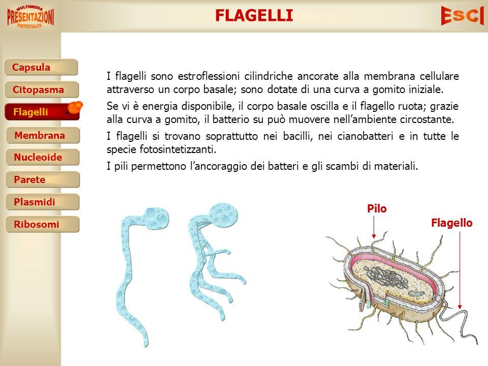 FLAGELLI
