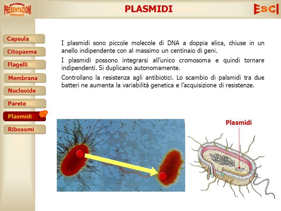 PLASMIDI I plasmidi sono piccole molecole di DNA a doppia elica, chiuse in un anello indipendente con al massimo un centinaio di geni.