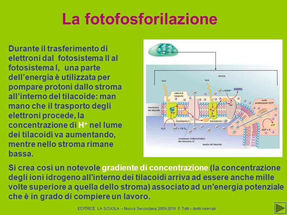 La fotofosforilazione