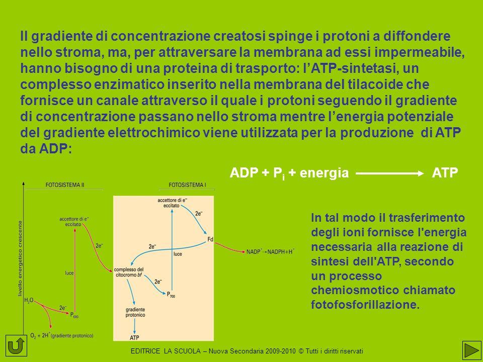 Il gradiente di concentrazione creatosi spinge i protoni a diffondere nello stroma, ma, per attraversare la membrana ad essi impermeabile, hanno bisogno di una proteina di trasporto: l'ATP-sintetasi, un complesso enzimatico inserito nella membrana del tilacoide che fornisce un canale attraverso il quale i protoni seguendo il gradiente di concentrazione passano nello stroma mentre l'energia potenziale del gradiente elettrochimico viene utilizzata per la produzione di ATP da ADP: