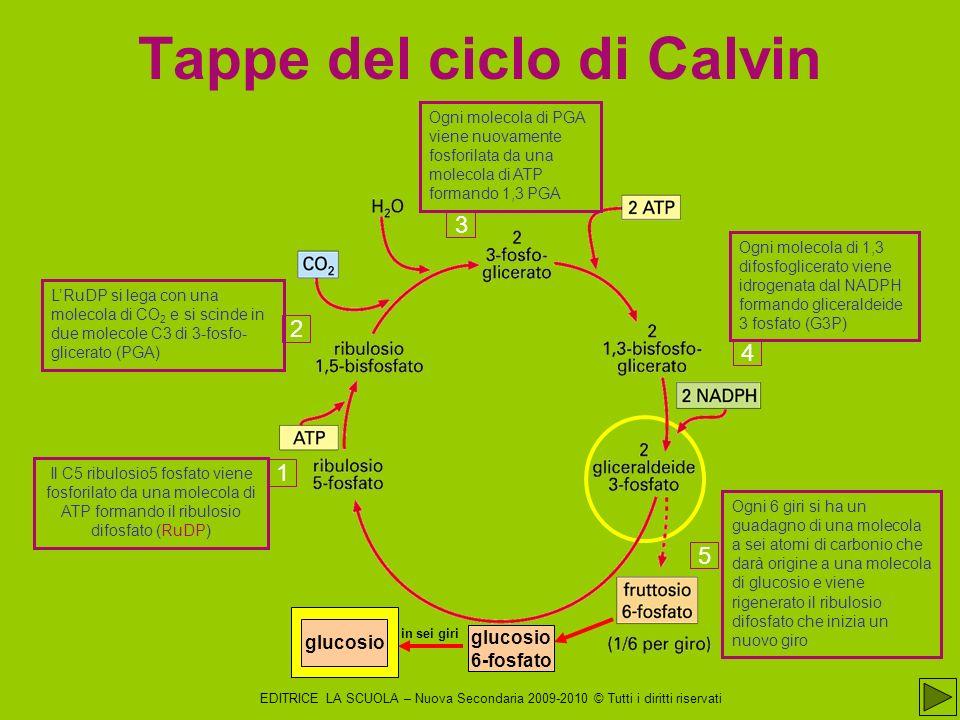 Tappe del ciclo di Calvin