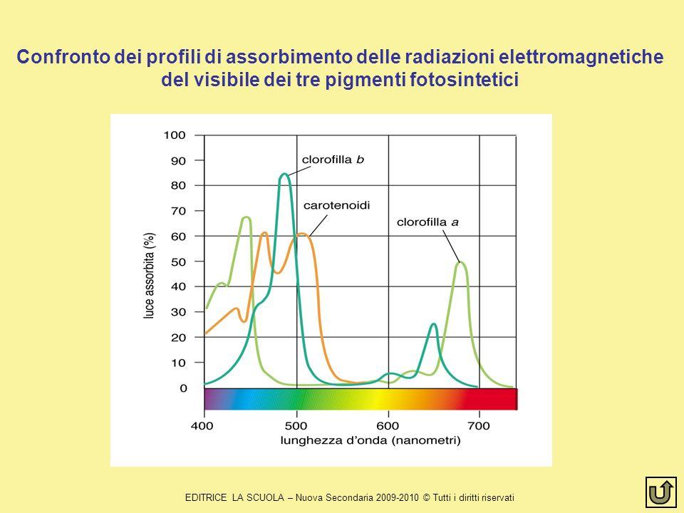 Confronto dei profili di assorbimento delle radiazioni elettromagnetiche del visibile dei tre pigmenti fotosintetici