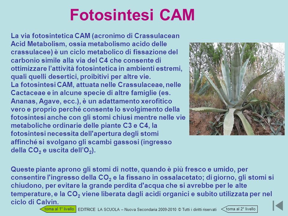 Fotosintesi CAM