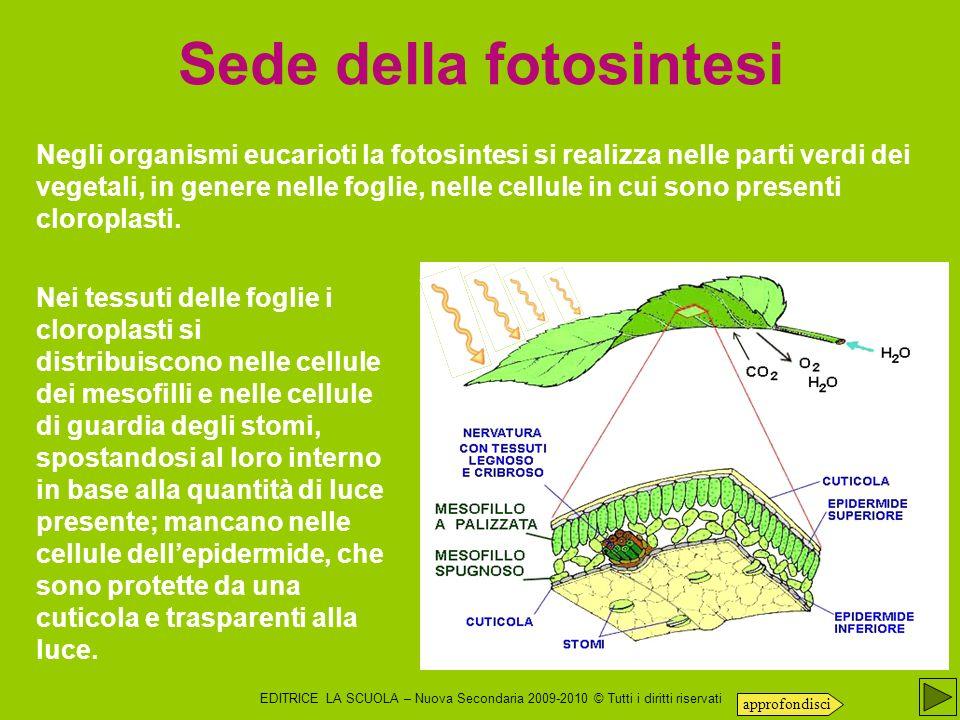 Sede della fotosintesi