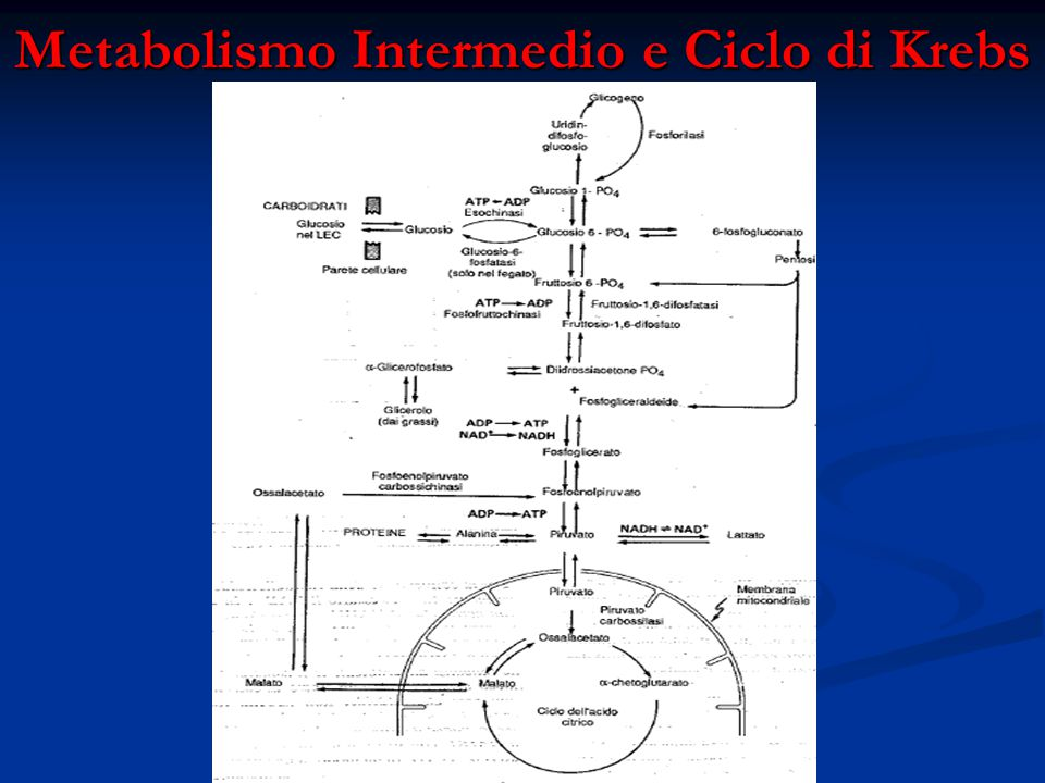 Metabolismo Intermedio e Ciclo di Krebs