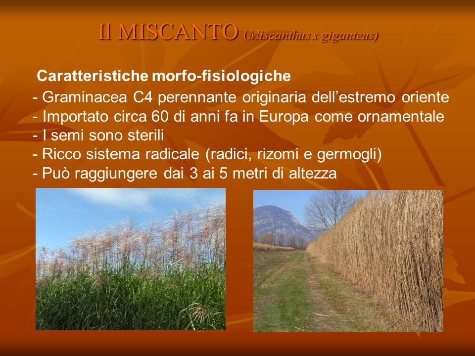 Il MISCANTO (Miscanthus x giganteus)