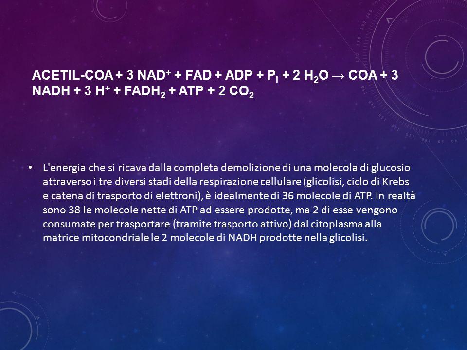 acetil-CoA + 3 NAD+ + FAD + ADP + Pi + 2 H2O → CoA + 3 NADH + 3 H+ + FADH2 + ATP + 2 CO2