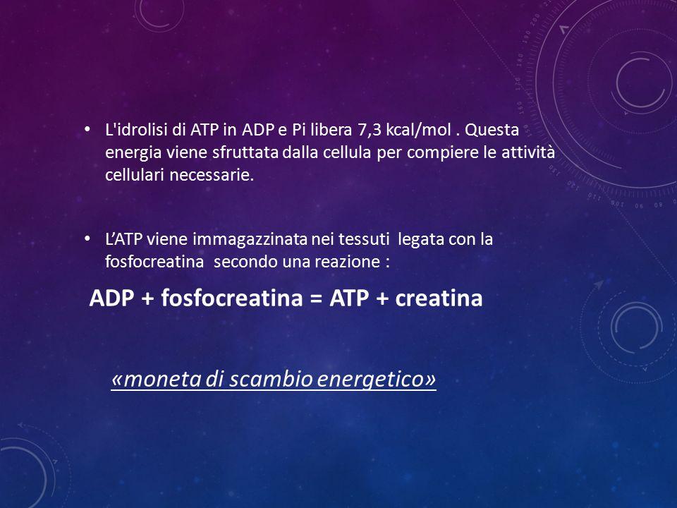 ADP + fosfocreatina = ATP + creatina