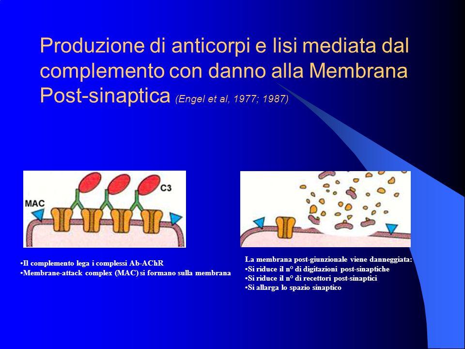 Produzione di anticorpi e lisi mediata dal complemento con danno alla Membrana Post-sinaptica (Engel et al, 1977; 1987)