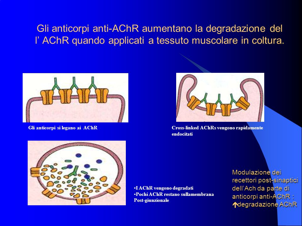 Gli anticorpi anti-AChR aumentano la degradazione del l' AChR quando applicati a tessuto muscolare in coltura.