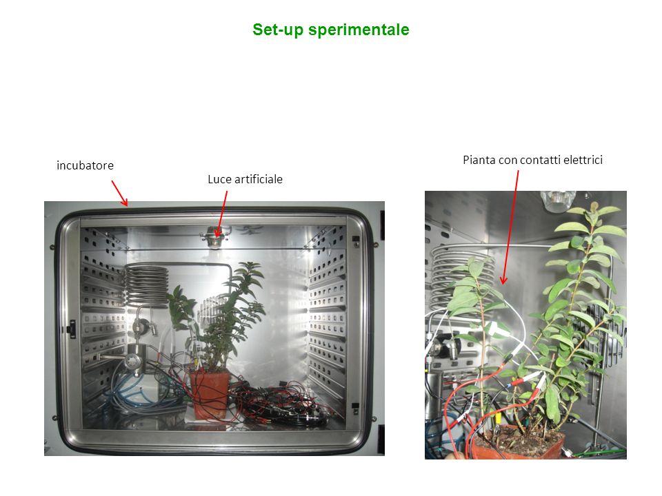 Set-up sperimentale Pianta con contatti elettrici incubatore