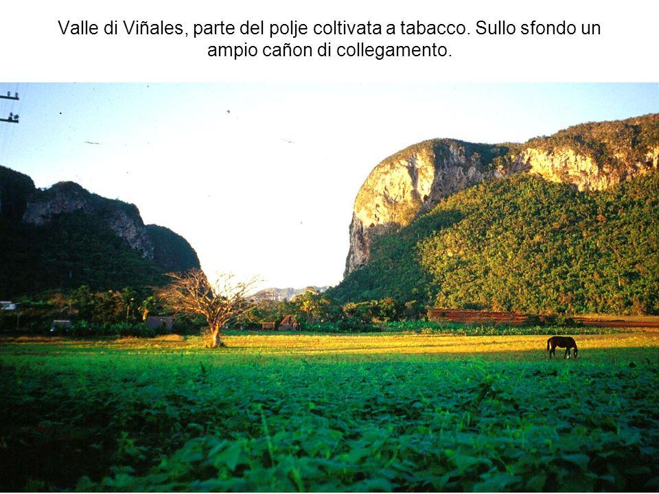 Valle di Viñales, parte del polje coltivata a tabacco