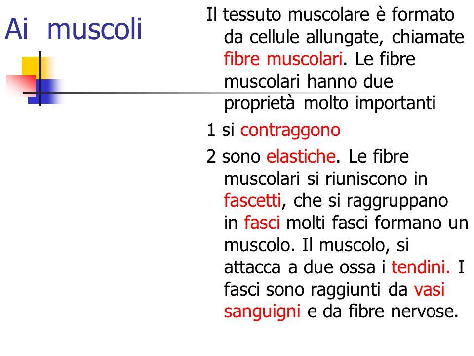 Ai muscoli Il tessuto muscolare è formato da cellule allungate, chiamate fibre muscolari. Le fibre muscolari hanno due proprietà molto importanti.