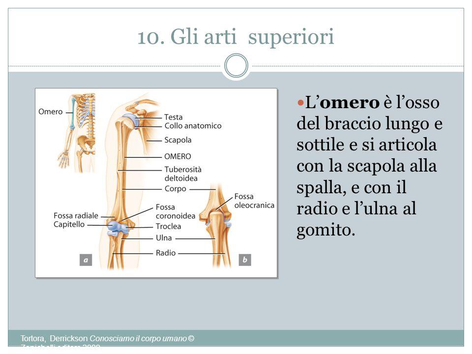 10. Gli arti superiori L'omero è l'osso del braccio lungo e sottile e si articola con la scapola alla spalla, e con il radio e l'ulna al gomito.