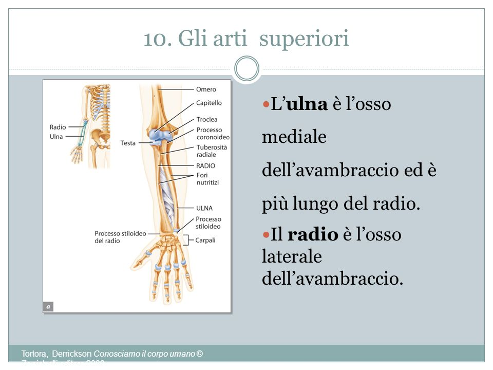 10. Gli arti superiori L'ulna è l'osso mediale dell'avambraccio ed è più lungo del radio. Il radio è l'osso laterale dell'avambraccio.