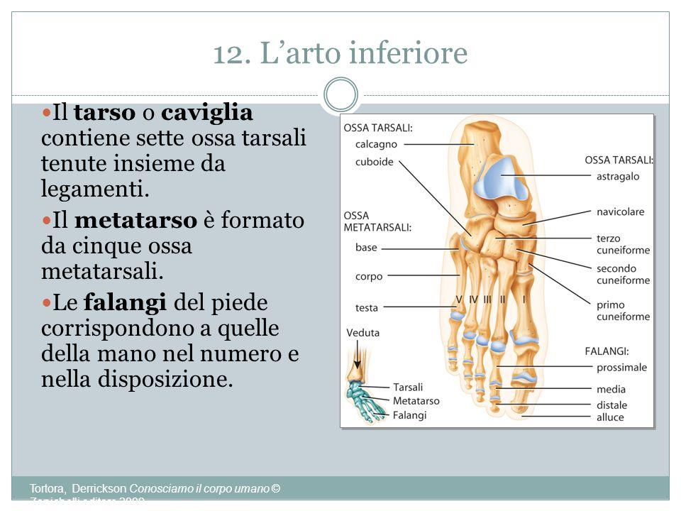 12. L'arto inferiore Il tarso o caviglia contiene sette ossa tarsali tenute insieme da legamenti. Il metatarso è formato da cinque ossa metatarsali.