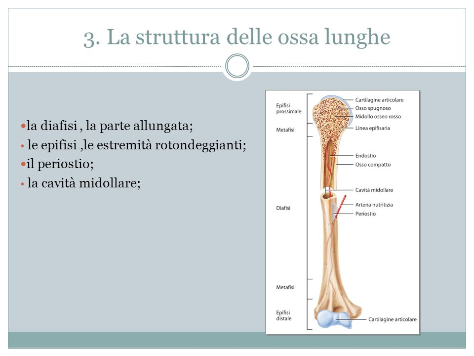 3. La struttura delle ossa lunghe