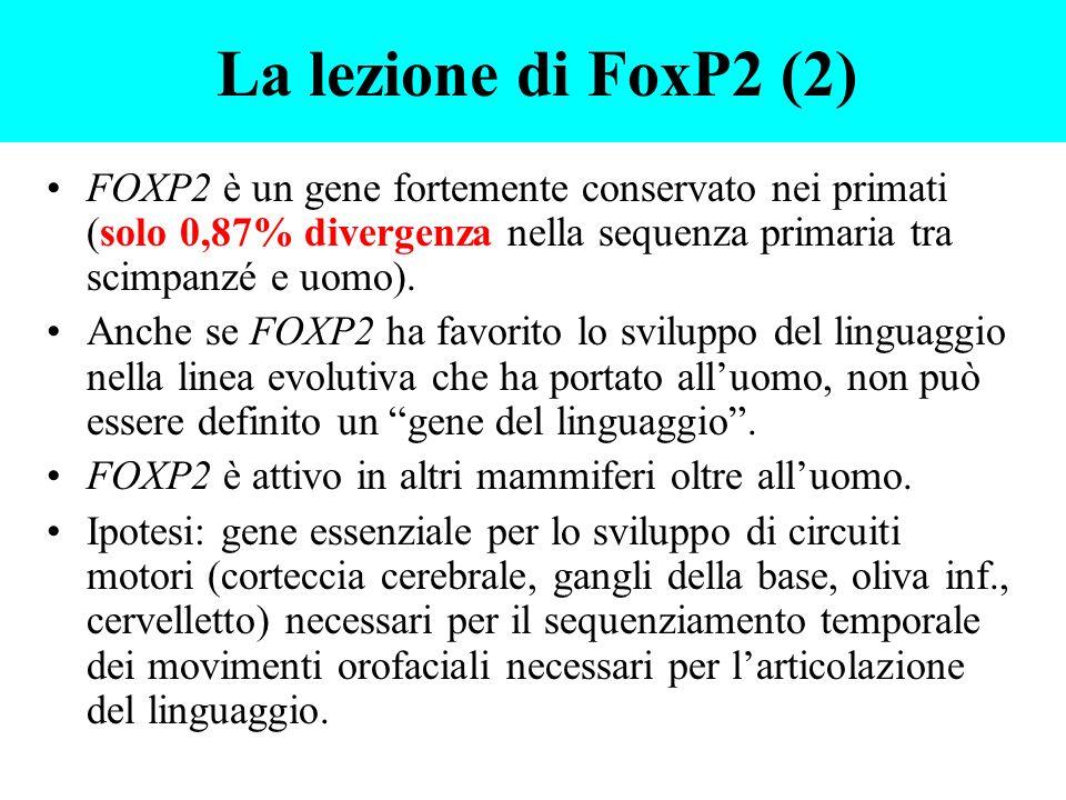 La lezione di FoxP2 (2) FOXP2 è un gene fortemente conservato nei primati (solo 0,87% divergenza nella sequenza primaria tra scimpanzé e uomo).