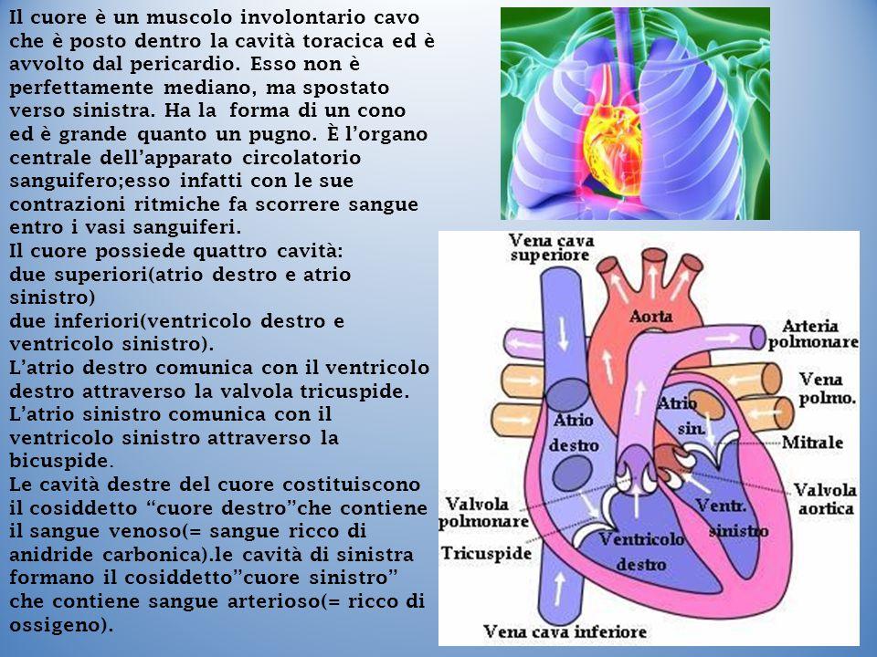 Il cuore è un muscolo involontario cavo che è posto dentro la cavità toracica ed è avvolto dal pericardio. Esso non è perfettamente mediano, ma spostato verso sinistra. Ha la forma di un cono ed è grande quanto un pugno. È l'organo centrale dell'apparato circolatorio sanguifero;esso infatti con le sue contrazioni ritmiche fa scorrere sangue entro i vasi sanguiferi.