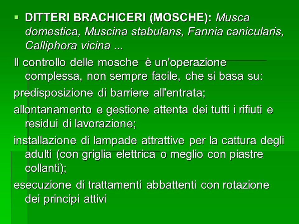 DITTERI BRACHICERI (MOSCHE): Musca domestica, Muscina stabulans, Fannia canicularis, Calliphora vicina ...