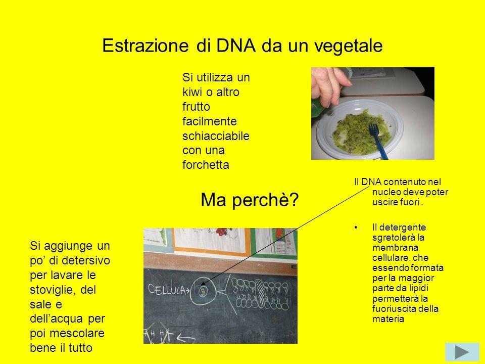 Estrazione di DNA da un vegetale