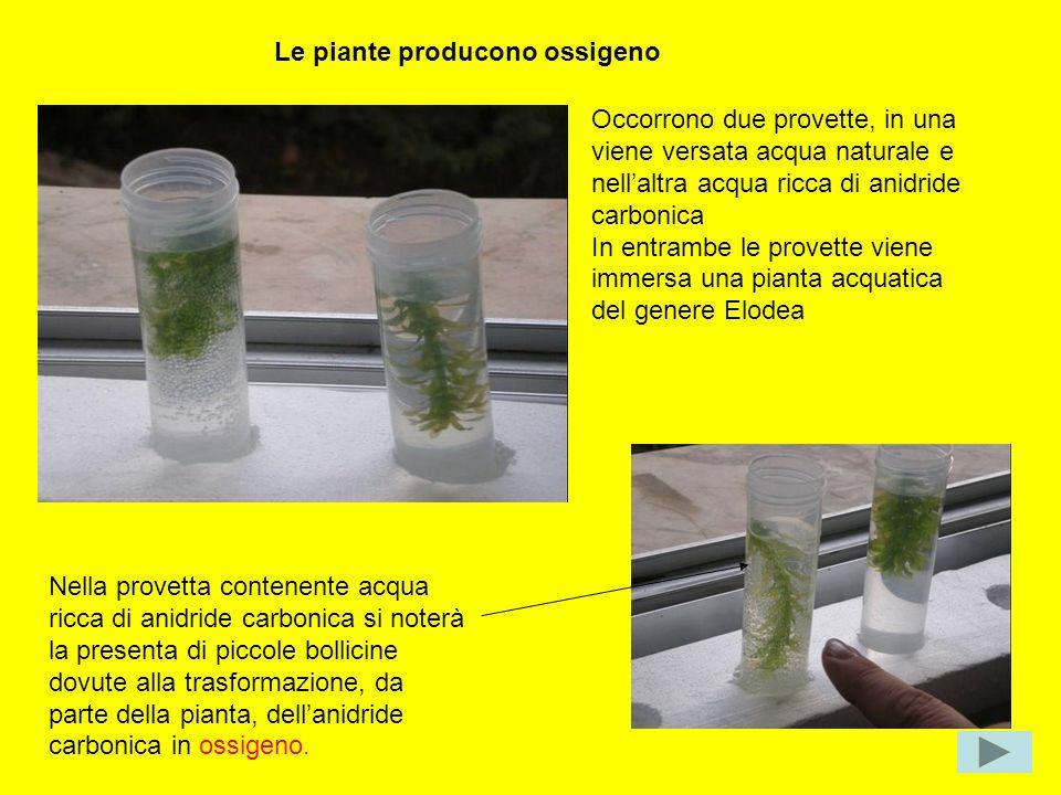 Le piante producono ossigeno