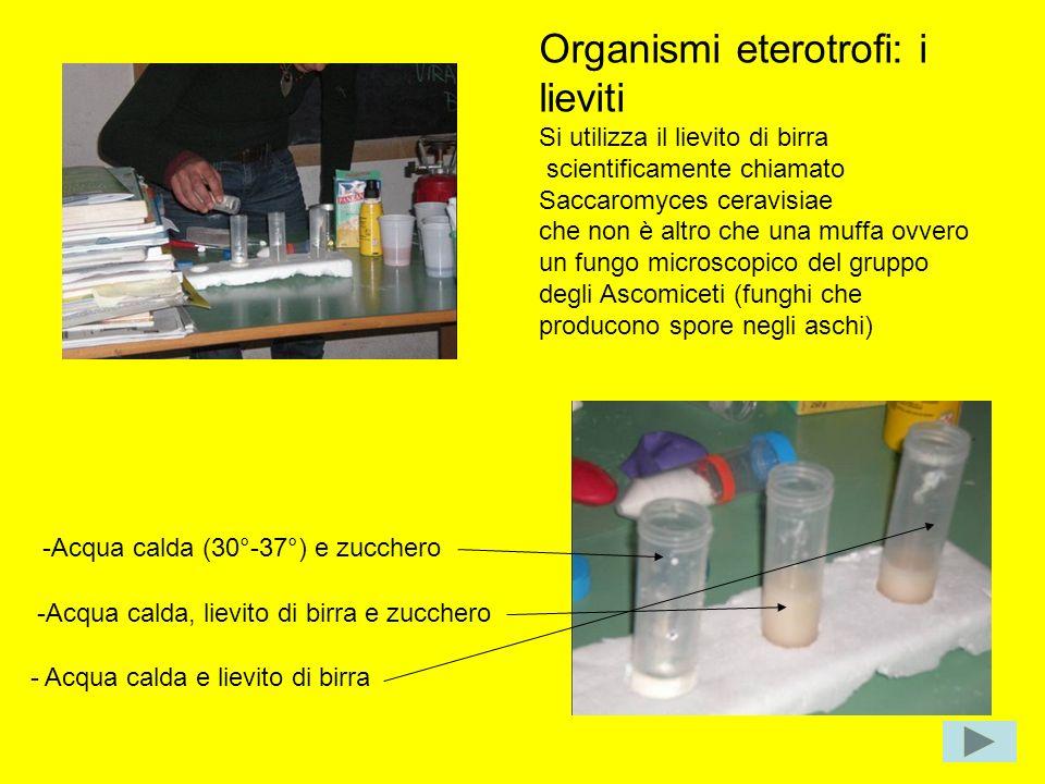 Organismi eterotrofi: i lieviti