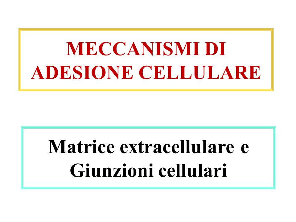 MECCANISMI DI ADESIONE CELLULARE Matrice extracellulare e