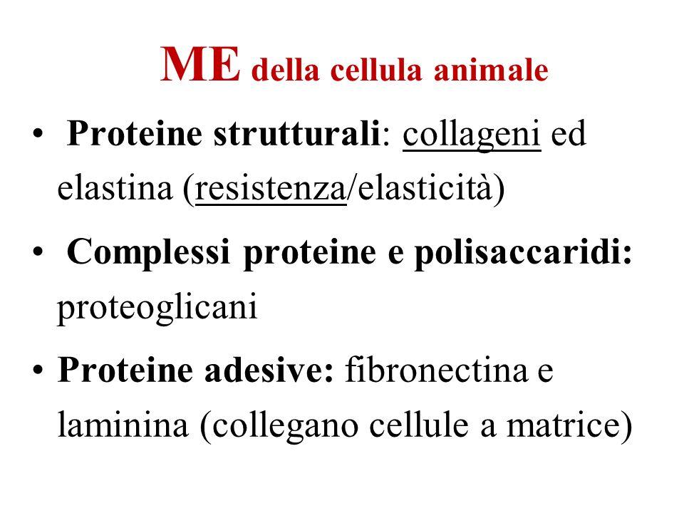 ME della cellula animale