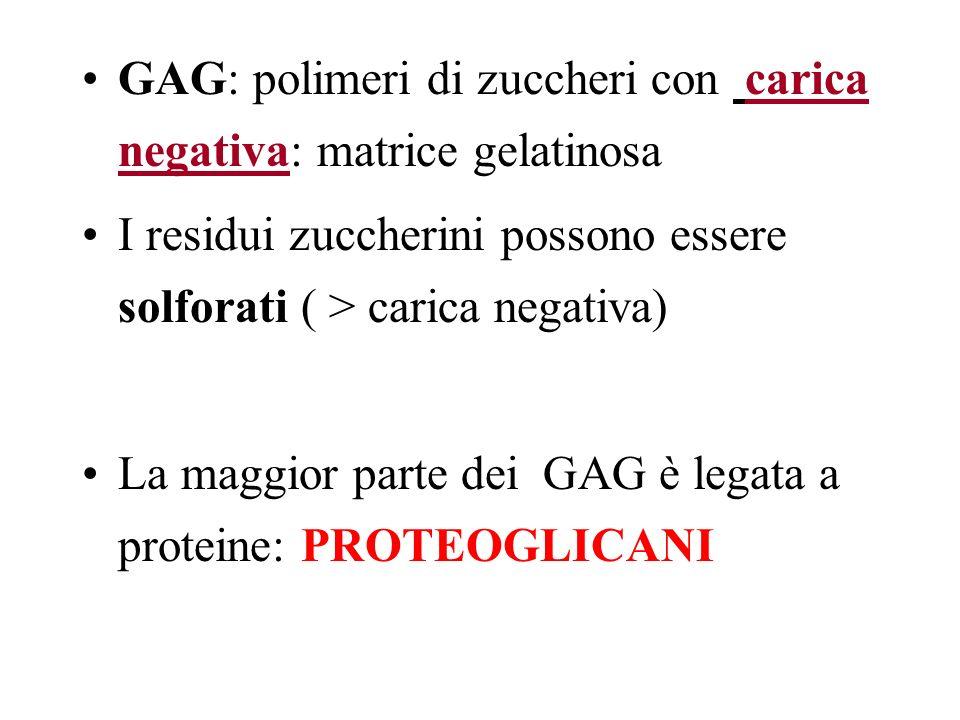 GAG: polimeri di zuccheri con carica negativa: matrice gelatinosa