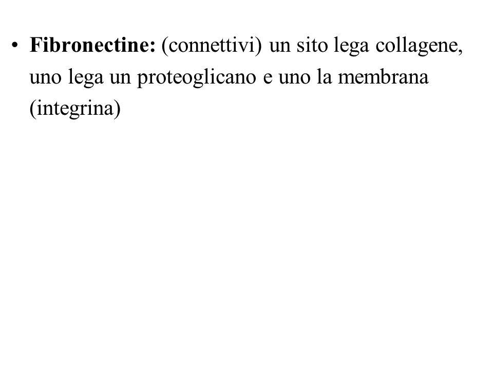 Fibronectine: (connettivi) un sito lega collagene, uno lega un proteoglicano e uno la membrana (integrina)