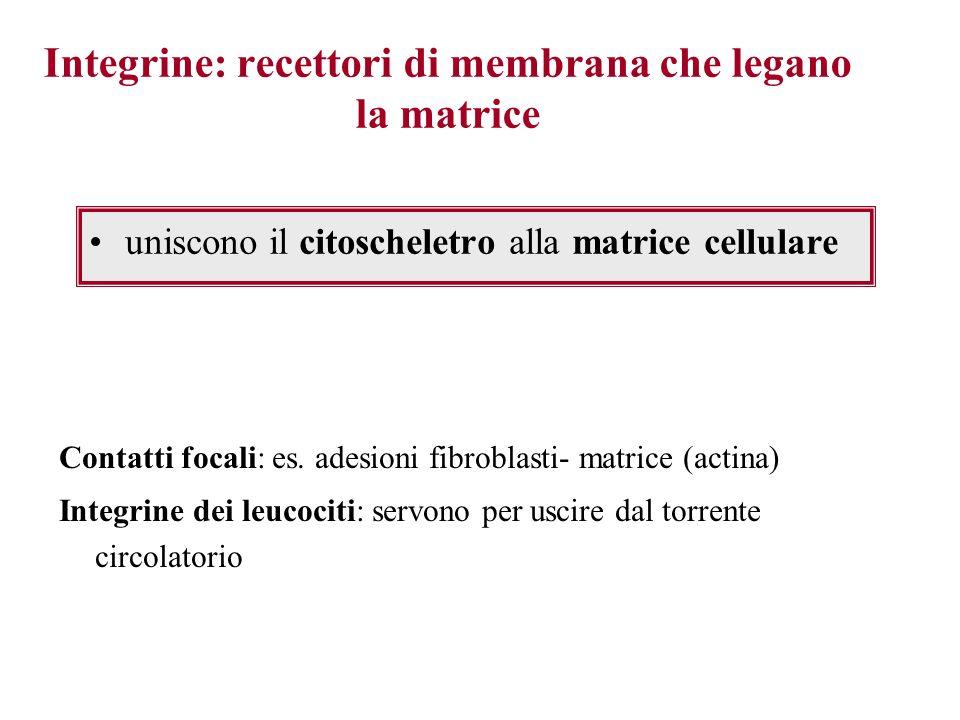 Integrine: recettori di membrana che legano la matrice