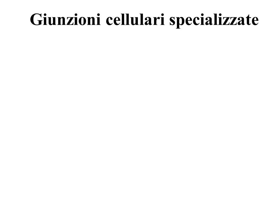 Giunzioni cellulari specializzate