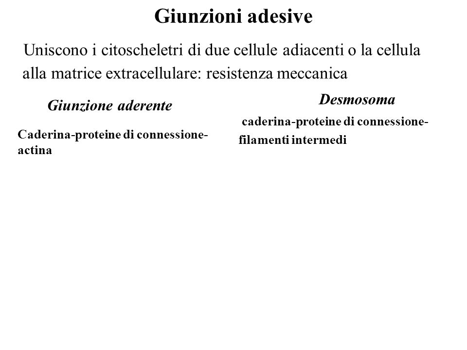 Giunzioni adesiveUniscono i citoscheletri di due cellule adiacenti o la cellula alla matrice extracellulare: resistenza meccanica.