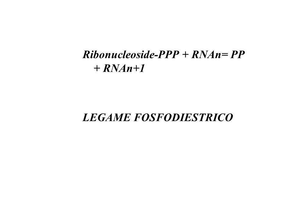 Ribonucleoside-PPP + RNAn= PP + RNAn+1