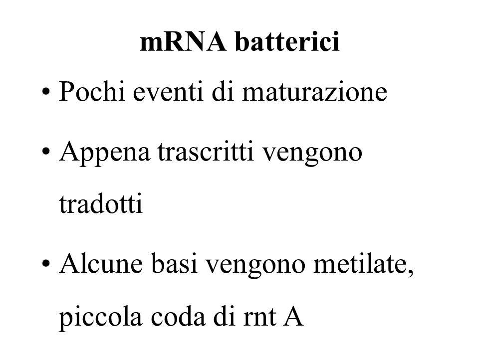 mRNA batterici Pochi eventi di maturazione. Appena trascritti vengono tradotti.