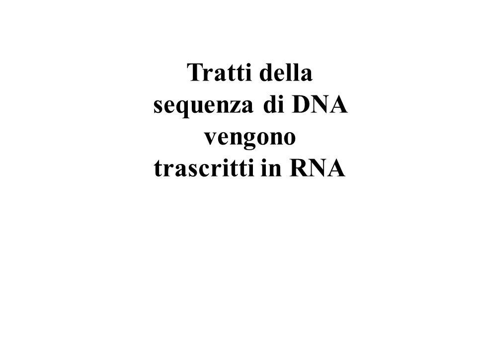 Tratti della sequenza di DNA vengono trascritti in RNA