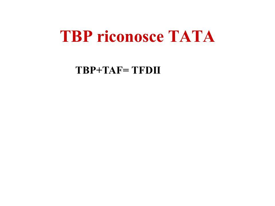 TBP riconosce TATA TBP+TAF= TFDII
