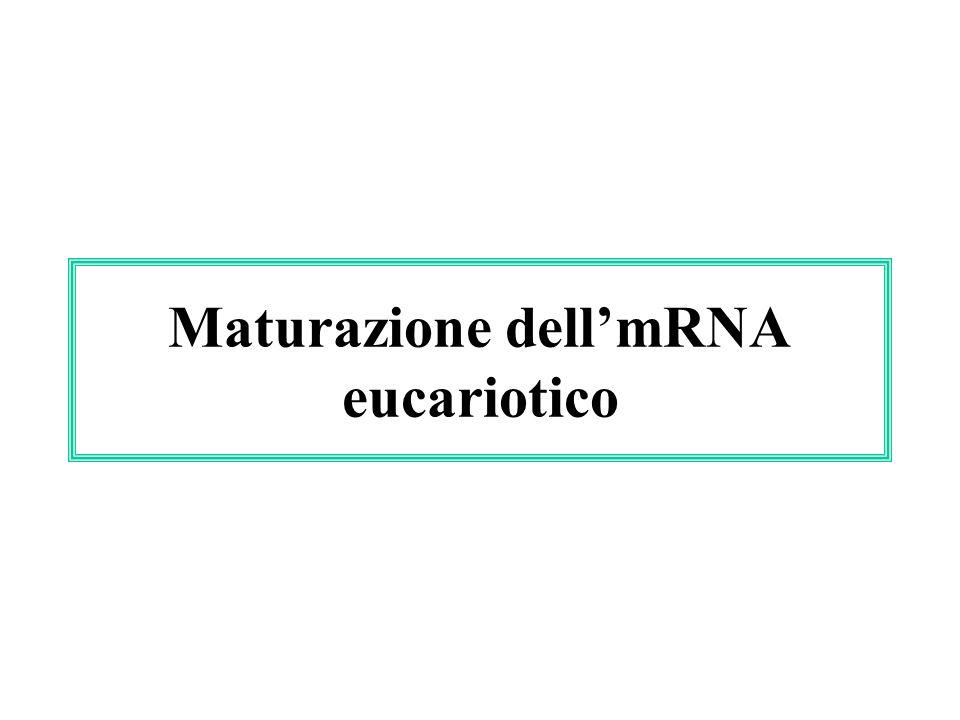 Maturazione dell'mRNA eucariotico