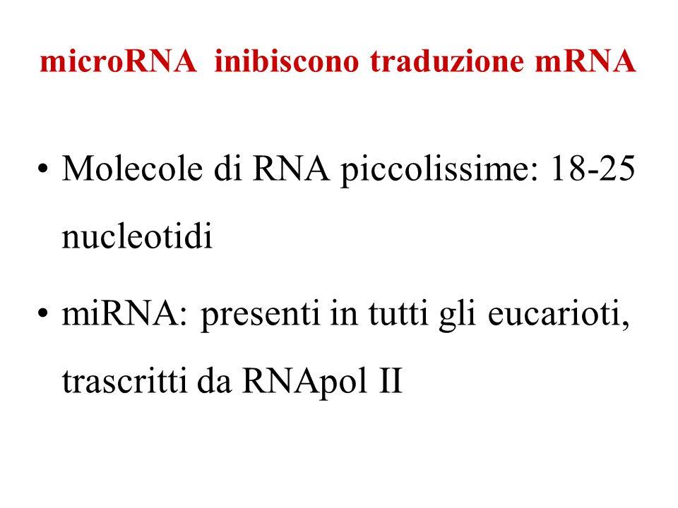 microRNA inibiscono traduzione mRNA