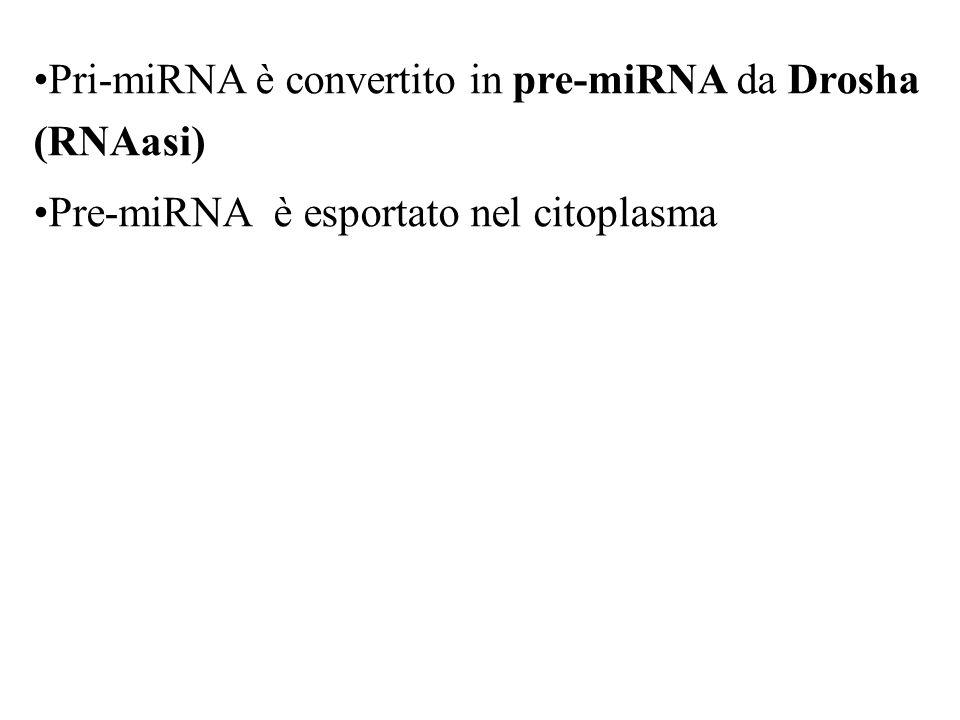 Pri-miRNA è convertito in pre-miRNA da Drosha (RNAasi)