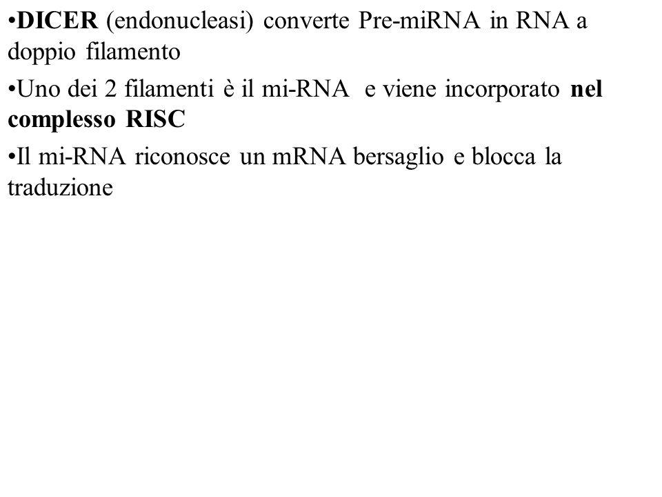 DICER (endonucleasi) converte Pre-miRNA in RNA a doppio filamento