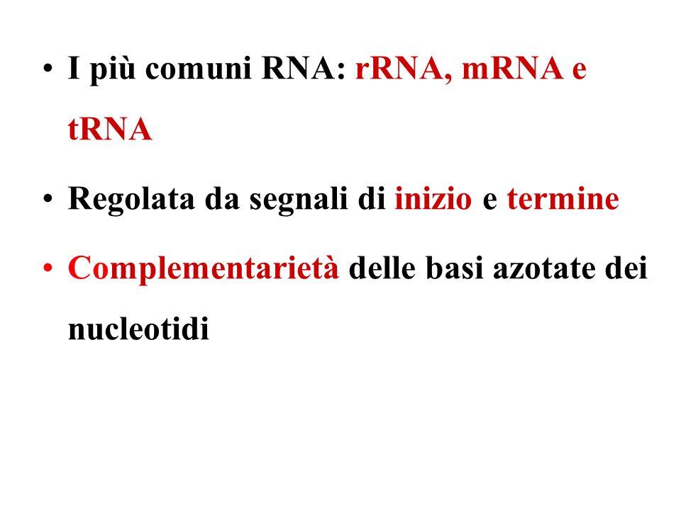 I più comuni RNA: rRNA, mRNA e tRNA