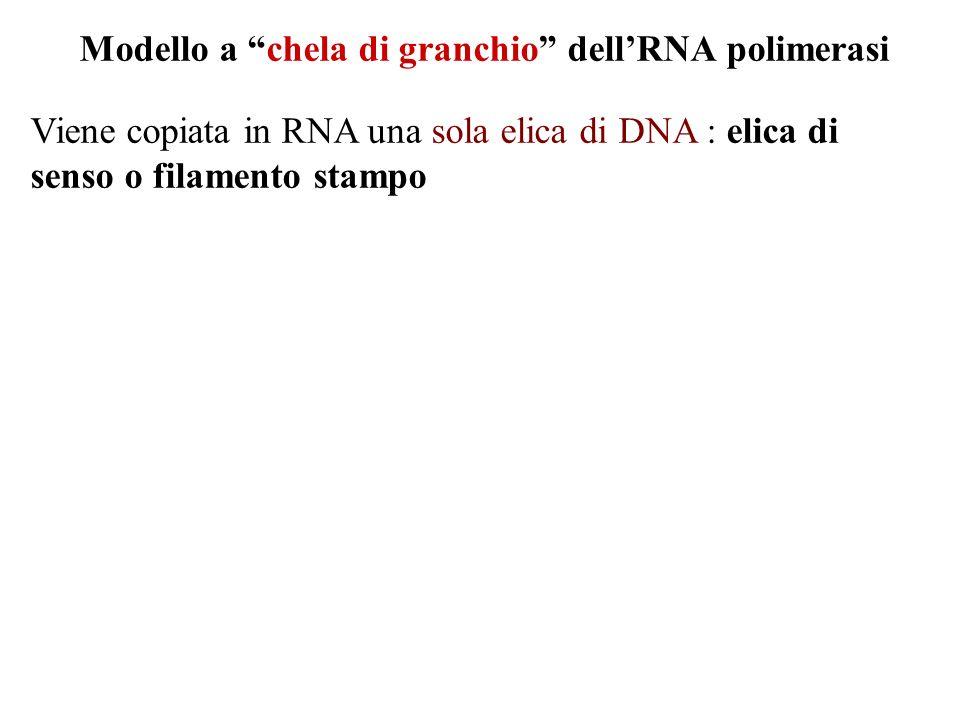 Modello a chela di granchio dell'RNA polimerasi