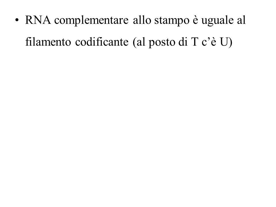 RNA complementare allo stampo è uguale al filamento codificante (al posto di T c'è U)