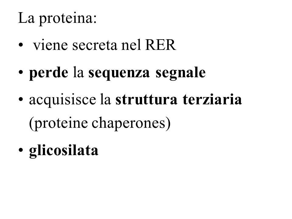 La proteina: viene secreta nel RER. perde la sequenza segnale. acquisisce la struttura terziaria (proteine chaperones)