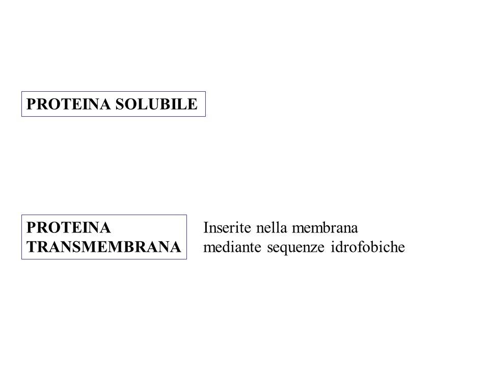 PROTEINA SOLUBILE PROTEINA TRANSMEMBRANA Inserite nella membrana mediante sequenze idrofobiche