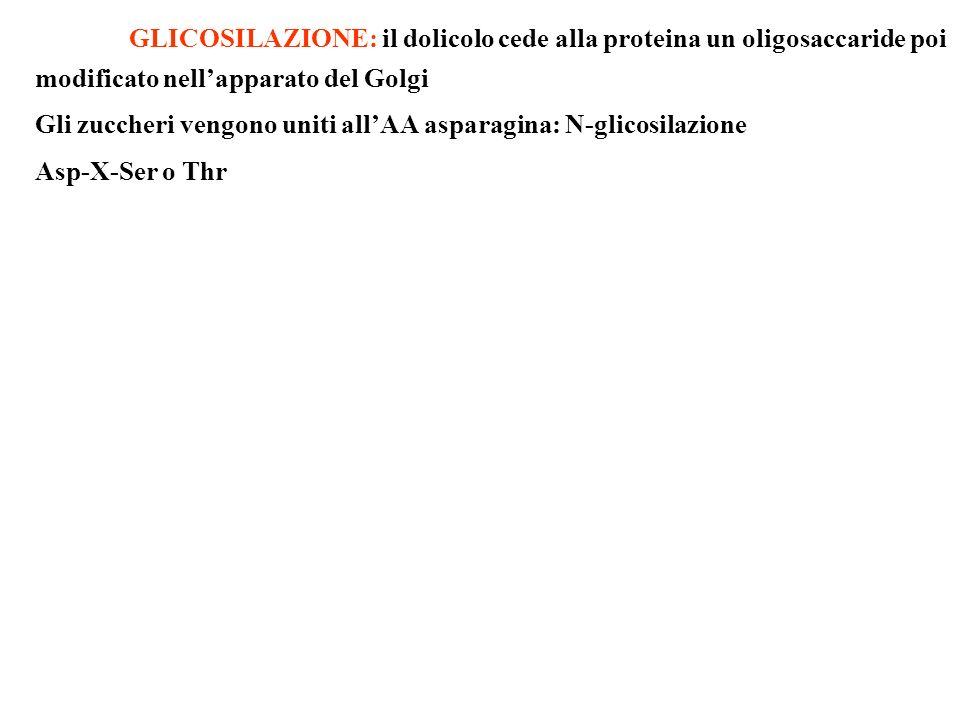 GLICOSILAZIONE: il dolicolo cede alla proteina un oligosaccaride poi modificato nell'apparato del Golgi