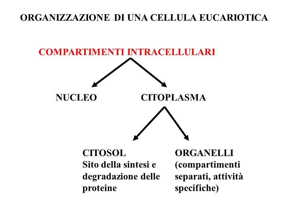 ORGANIZZAZIONE DI UNA CELLULA EUCARIOTICA
